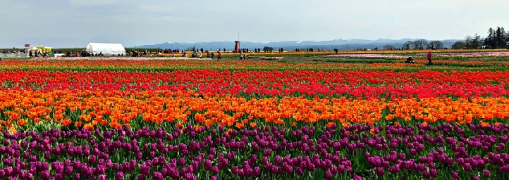 Tulip Festival 2019 – Srinagar - May 2019